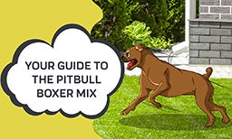 Guide to pitbull boxer mix