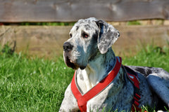 Must Know Things About Great Dane Lab Mix Breed | Innovet Pet