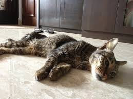 Kidney disease in cats