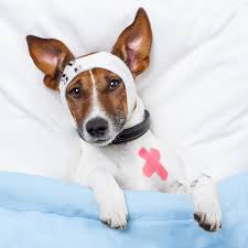 How to treat injured pet