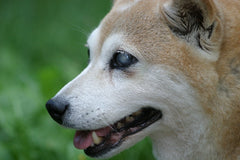 Blind dog, how to help blind dogs