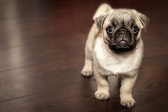10 Most Interesting Facts About The Puggle | Innovet Pet