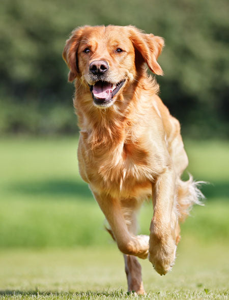 Advanced Multivitamin Chews may help your dog's mobility