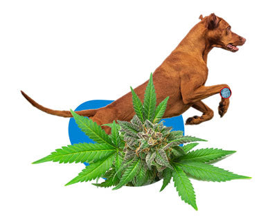 Does CBD help with arthritis in dogs
