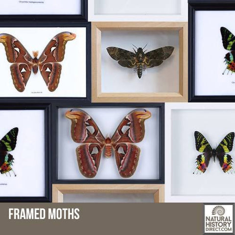 Framed Moths
