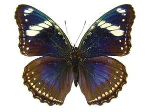 20 X UNMOUNTED BUTTERFLIES, NYMPHALIDAE, Hypolimnas bolina philippensis - Natural History Direct Online Shop