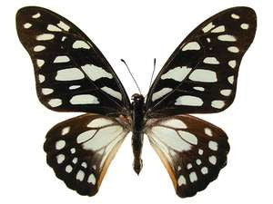 20 X UNMOUNTED BUTTERFLIES, Papilionidae,Graphium leonidas - Natural History Direct Online Shop
