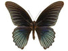 20 X UNMOUNTED BUTTERFLIES, NYMPHALIDAE,Papilio memnon agenor (Malaysia) - Natural History Direct Online Shop