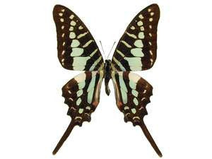 20 X UNMOUNTED BUTTERFLIES, Papilionidae,Graphium policenes - Natural History Direct Online Shop