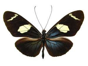 20 X UNMOUNTED BUTTERFLIES, Heliconidae/Ithomidae, Heliconius wallacei flavescens - Natural History Direct Online Shop