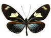 20 X UNMOUNTED BUTTERFLIES, Heliconidae/Ithomidae, Heliconius doris - Natural History Direct Online Shop