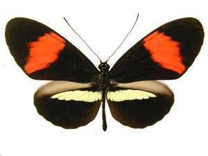 20 X UNMOUNTED BUTTERFLIES, Heliconidae/Ithomidae,Heliconius melpomene amaryllis - Natural History Direct Online Shop