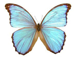 20 X UNMOUNTED BUTTERFLIES, Morphidae, Morpho godarti assarpai - Natural History Direct Online Shop