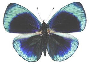 20 X UNMOUNTED BUTTERFLIES, NYMPHALIDAE,Asterope optima philotina - Natural History Direct Online Shop