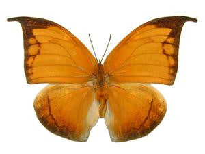 20 X UNMOUNTED BUTTERFLIES, NYMPHALIDAE, ANAEA ARCHIDONA - Natural History Direct Online Shop