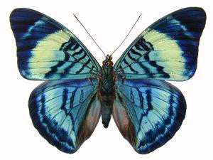 20 X UNMOUNTED BUTTERFLIES, NYMPHALIDAE,Panacea regina - Natural History Direct Online Shop