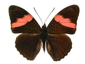 20 x Unmounted Butterflies, Nymphalidae, Adelpha lara - Natural History Direct Online Shop