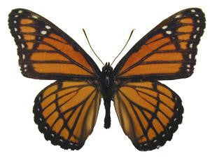 20 X UNMOUNTED BUTTERFLIES, NYMPHALIDAE,BASILARCHIA ARCHIPPUS ARCHIPPUS - Natural History Direct Online Shop