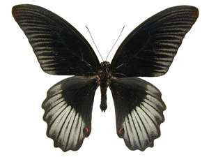 20 X UNMOUNTED BUTTERFLIES, Papilionidae,Papilio rumanzovia - Natural History Direct Online Shop