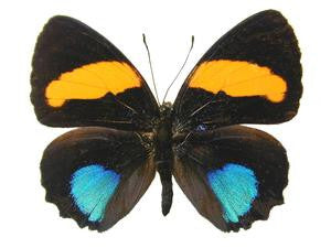20 X UNMOUNTED BUTTERFLIES, NYMPHALIDAE, CALLICORE AEGINA - Natural History Direct Online Shop