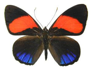 20 X UNMOUNTED BUTTERFLIES, NYMPHALIDAE, CALLICORE CAJETANI - Natural History Direct Online Shop