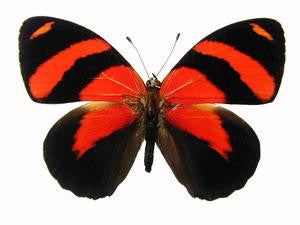 20 X UNMOUNTED BUTTERFLIES, NYMPHALIDAE, CALLICORE CYNOSURA - Natural History Direct Online Shop