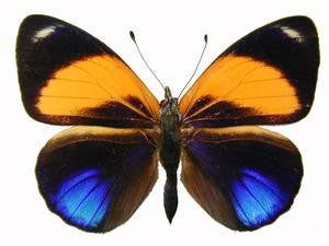20 X UNMOUNTED BUTTERFLIES, Nymphalidae, ASTEROPE MARKI DAVISI - Natural History Direct Online Shop