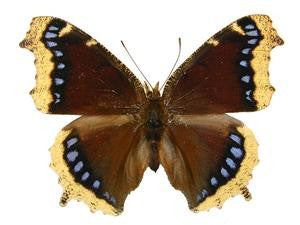 20 X UNMOUNTED BUTTERFLIES, Nymphalidae,Nymphalis antiopa - Natural History Direct Online Shop