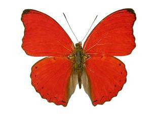 20 X UNMOUNTED BUTTERFLIES, NYMPHALIDAE, Cymothoe sangaris - Natural History Direct Online Shop