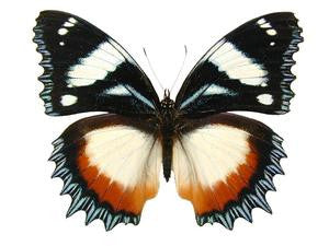 20 X UNMOUNTED BUTTERFLIES, NYMPHALIDAE,Hypolimnas dexithea - Natural History Direct Online Shop