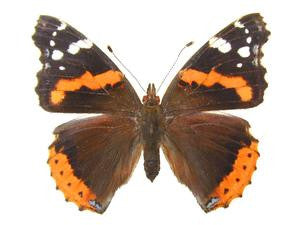 20 X UNMOUNTED BUTTERFLIES, NYMPHALIDAE,Vanessa atalanta - Natural History Direct Online Shop