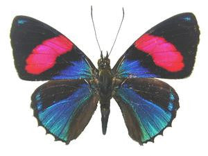 20 X UNMOUNTED BUTTERFLIES, NYMPHALIDAE, CALLICORE HESPERIS - Natural History Direct Online Shop