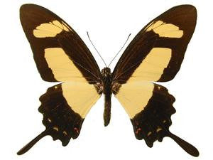 20 X UNMOUNTED BUTTERFLIES, Papilionidae,Papilio thoas cinyras - Natural History Direct Online Shop