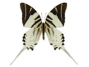 20 X UNMOUNTED BUTTERFLIES, Papilionidae,Graphium androcles - Natural History Direct Online Shop