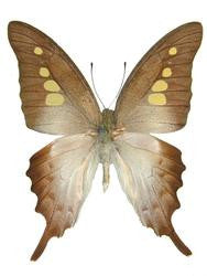 20 X UNMOUNTED BUTTERFLIES, NYMPHALIDAE,Graphium empedovana - Natural History Direct Online Shop