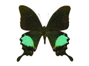 20 X UNMOUNTED BUTTERFLIES, Papilionidae,Papilio paris gedeensis - Natural History Direct Online Shop