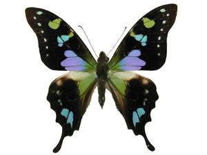 20 X UNMOUNTED BUTTERFLIES, Papilionidae, Graphium weiskei - Natural History Direct Online Shop