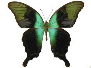 20 X UNMOUNTED BUTTERFLIES, Papilionidae,Papilio peranthus insulicola - Natural History Direct Online Shop