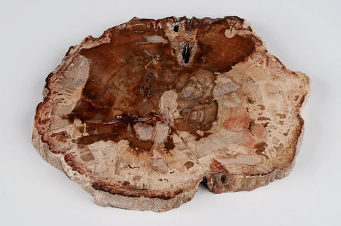 Coaster made from Petrified wood | Large - Natural History Direct Online Shop - 1