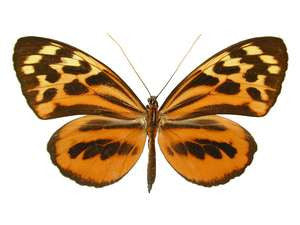 20 X UNMOUNTED BUTTERFLIES, NYMPHALIDAE,Tithorea harmonia - Natural History Direct Online Shop