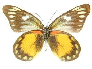 20 X UNMOUNTED BUTTERFLIES, Pieridae, Delias zebuda PAIRS - Natural History Direct Online Shop