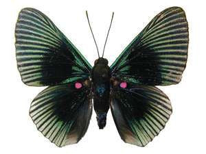 20 X UNMOUNTED BUTTERFLIES, Riodinidae,Lyropteryx appollonia - Natural History Direct Online Shop