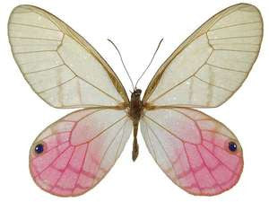 20 X UNMOUNTED BUTTERFLIES, NYMPHALIDAE,Cithaerias merolina PAIRS - Natural History Direct Online Shop