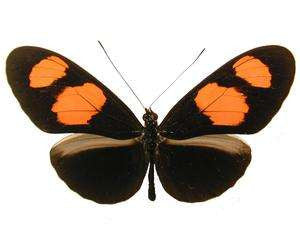 20 X UNMOUNTED BUTTERFLIES, NYMPHALIDAE, Heliconius erato microclea - Natural History Direct Online Shop