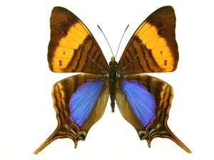 20 X UNMOUNTED BUTTERFLIES, NYMPHALIDAE, Marpesia marcella - Natural History Direct Online Shop