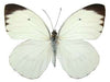 20 X UNMOUNTED BUTTERFLIES, Pieridae, ASCIA BUNIAE - Natural History Direct Online Shop