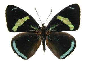 20 X UNMOUNTED BUTTERFLIES, NYMPHALIDAE, Diaethria clymena - Natural History Direct Online Shop