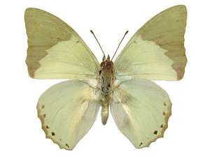 20 X UNMOUNTED BUTTERFLIES, NYMPHALIDAE,Charaxes subornatus - Natural History Direct Online Shop