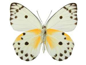 20 X UNMOUNTED BUTTERFLIES, NYMPHALIDAE,Pieris calypso - Natural History Direct Online Shop
