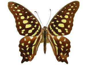 20 X UNMOUNTED BUTTERFLIES, Papilionidae, Graphium agamemnon - Natural History Direct Online Shop
